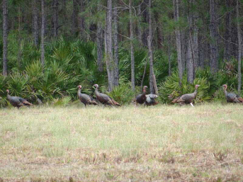 osceola-florida-turkey-hunting-006