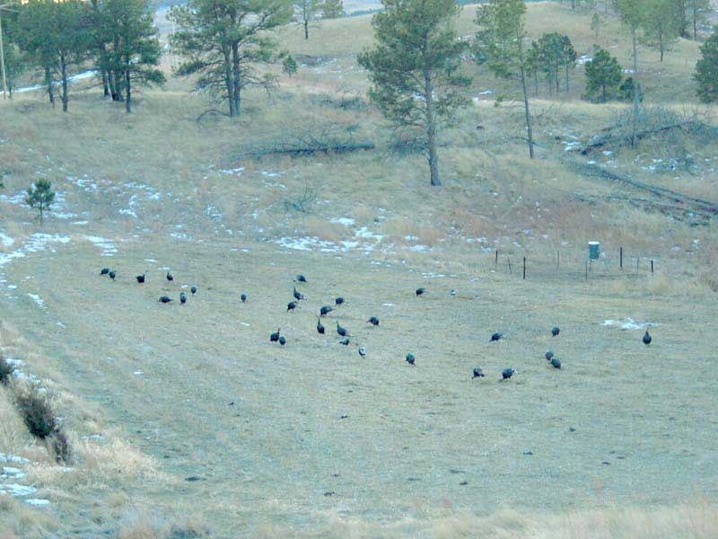 merriam-turkey-hunting-005