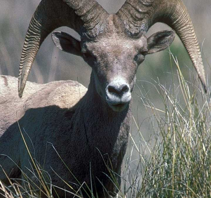 Texas Desert Bighorn Sheep Tag Available for 2018 Draw