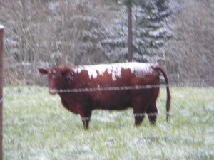 really cold cow