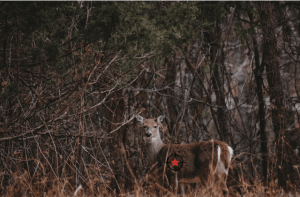 Where to aim on a deer quartering away