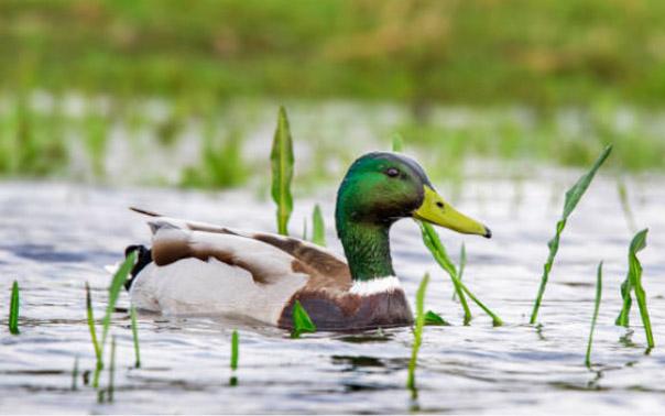 wild duck plain wild