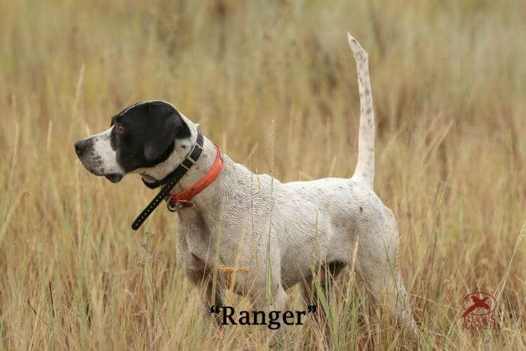 Hunting Dogs - Ruggs Ranch
