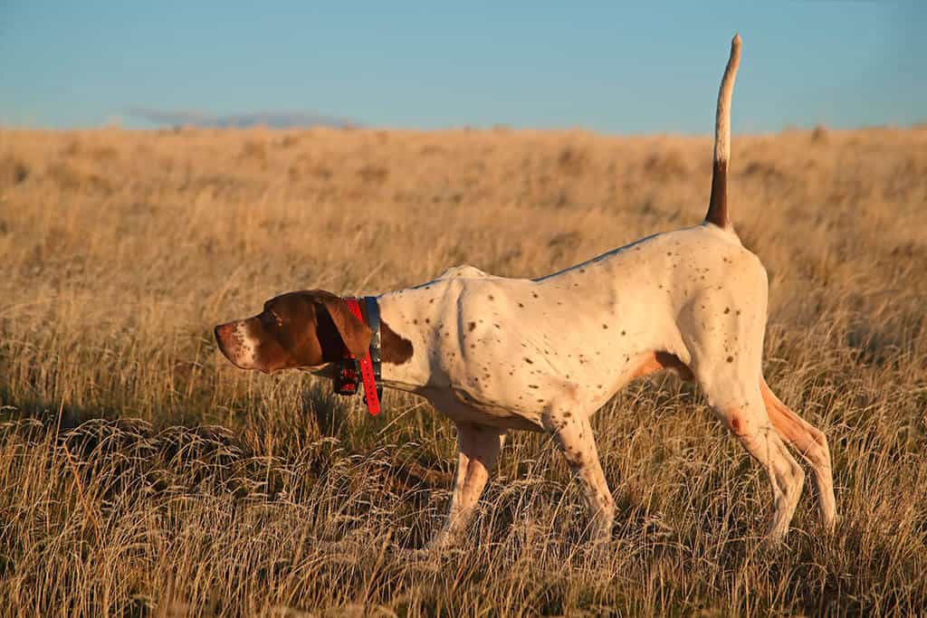 hunting dogs img 03