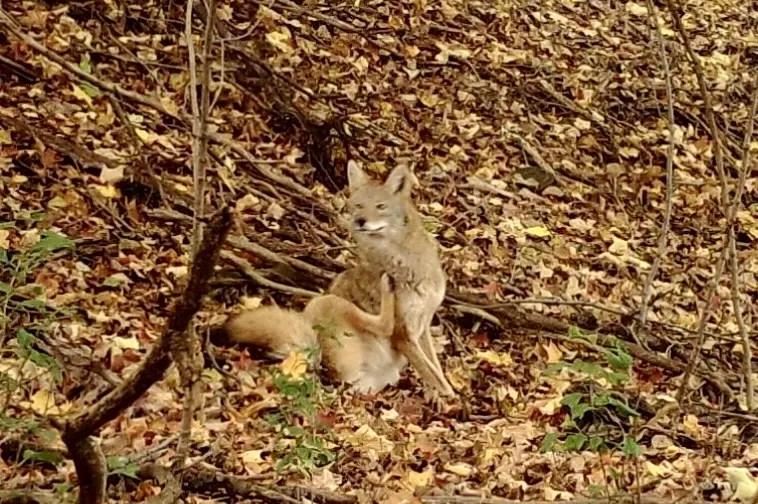 coyote trail cam photo