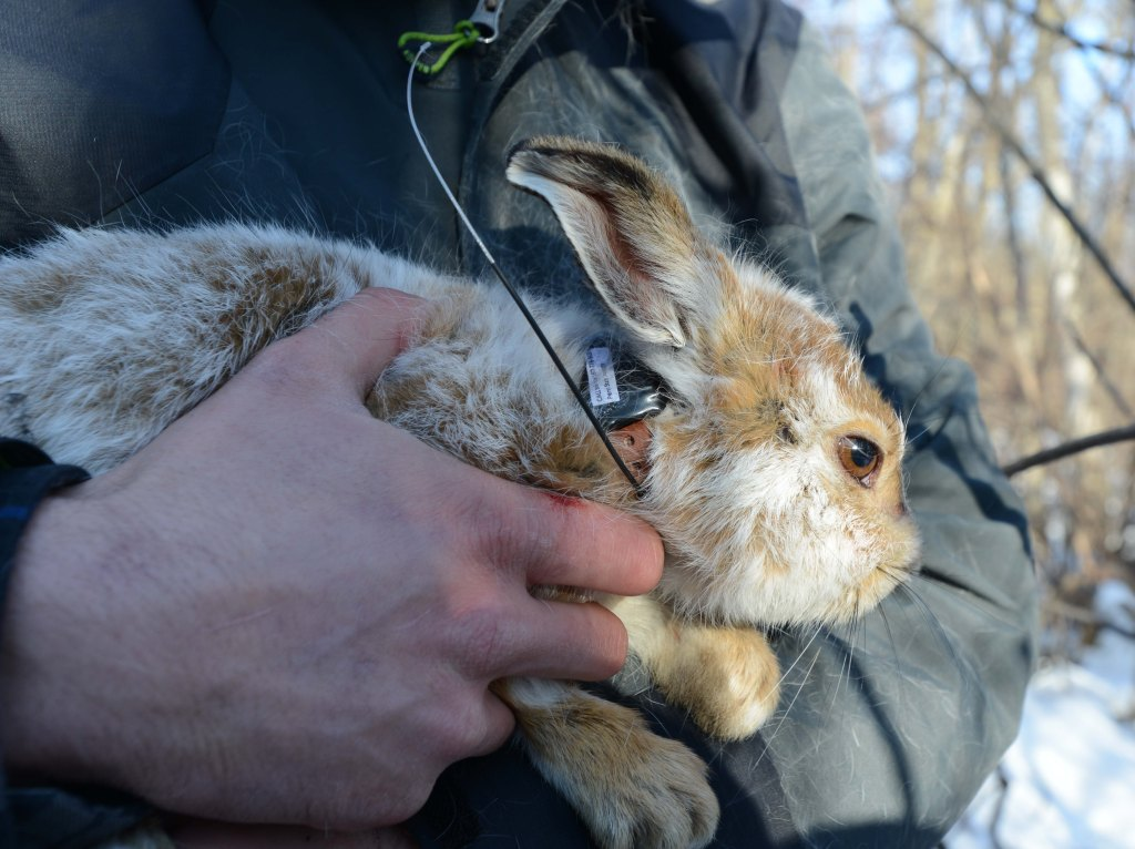 Snowshoe Hare Research