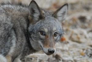 coyote.Korber