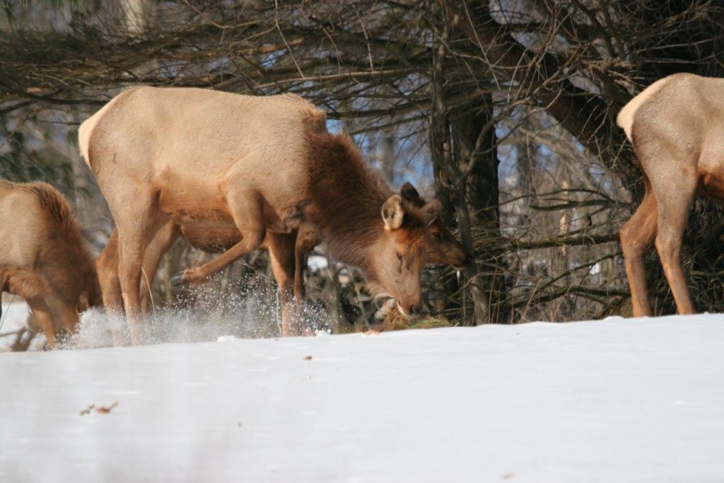 Cow Elk Scraping Snow by Jacob Dingel 01790