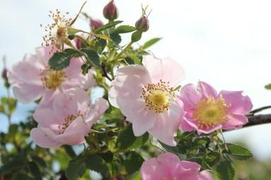 Rosa woodsii fendleri