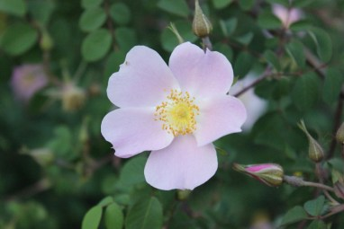 Rosa setipoda