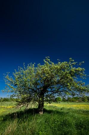 Ein Baum im Rieselfeld