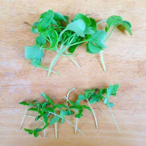 間引いてみたパスタにまぜて食べよう^_^その前に食べてみる。春菊うまい!二十日大根双葉は苦い、茎はピリッとうまい。#食べたら#生きている#気がした#狭小 #プランター #農園 #成長 #間引き