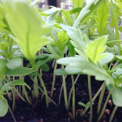 成長加速してるもう一回間引いて食べようかな#狭小#プランター#農園#春菊#成長