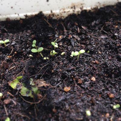 2度目の種まき3日で発芽しました。これは春菊。追肥はやっぱり必要かな米のとぎ汁まいてみたけど…#種まき#狭小#プランター#農園#春菊#小ねぎ#発芽