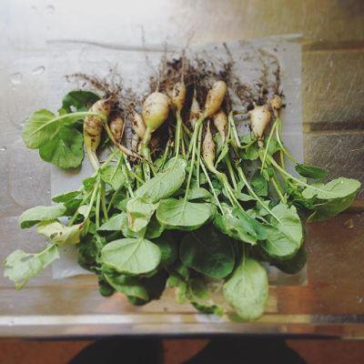 二十日大根、全て収穫しました。ちっちゃいな〜狭小プランターに詰め込みすぎましたね…もう一回チャレンジします!#狭小#プランター#農園 #収穫#二十日大根#失敗