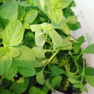 ミントや日本ハッカなど購入〜蚊除けになるかな#狭小#プランター#農園#スペアミント#日本ハッカ#パセリ#食べられる#ものばかり#植える#のです