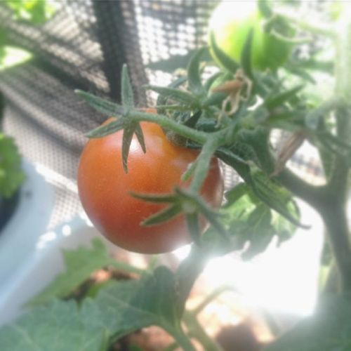 ミニトマト、一つ赤くなってきてる〜(≧∀≦) #超#狭小#プランター#農園#日報