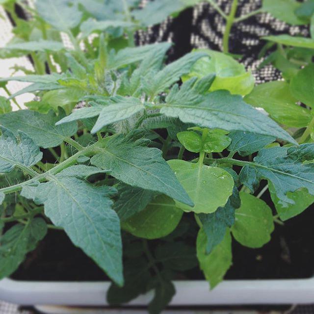 トマトバジル。ごっちゃりしてますが元気みたいです。#トマト#バジル#コンパニオンプランツ#超狭小#プランター#農園