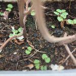 復活の春!シソのプランターで芽生えたから、勝手に美味しい夏の薬味を期待していますが…#正体不明#芽生え#雑草#可能性あり#久しぶりの#超狭小#プランター農園