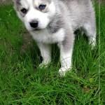 When Will My Husky Puppy S Ears Stand Up Husky Advisor