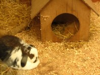 Rabbit and guinea pig together