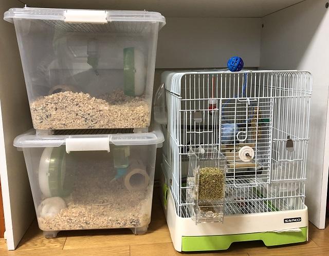 セキセイインコとゴールデンハムスターは一緒に飼える?我が家の飼い方をご紹介します