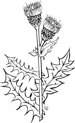 Раскраска «Бодяк полевой», распечатать бесплатно