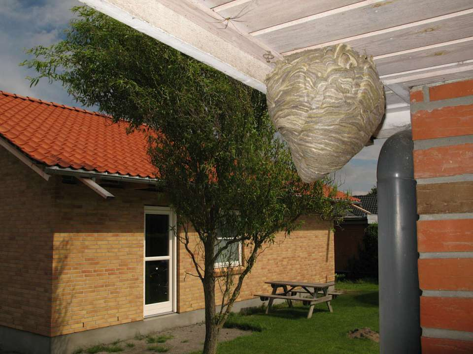 Hvepse under udhæng paracelhus