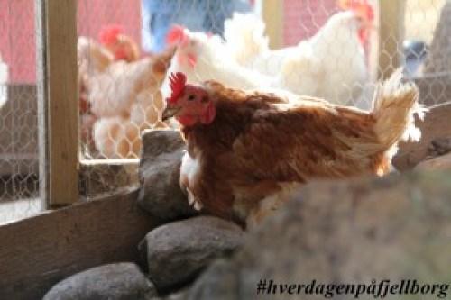 Lohman frittgående høne