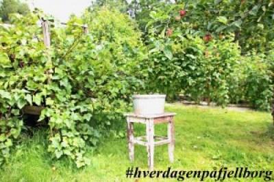 Solbær i frukthagen saftkoker