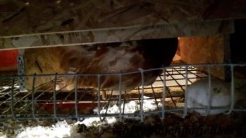Hønsemøkk og rugeegg