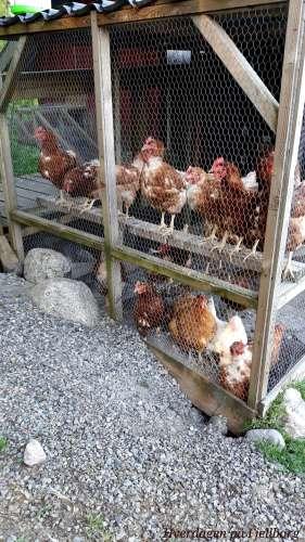Hønsehold: Utegarden til Lohman-flokken vår. De går ut og inn som de selv vil.