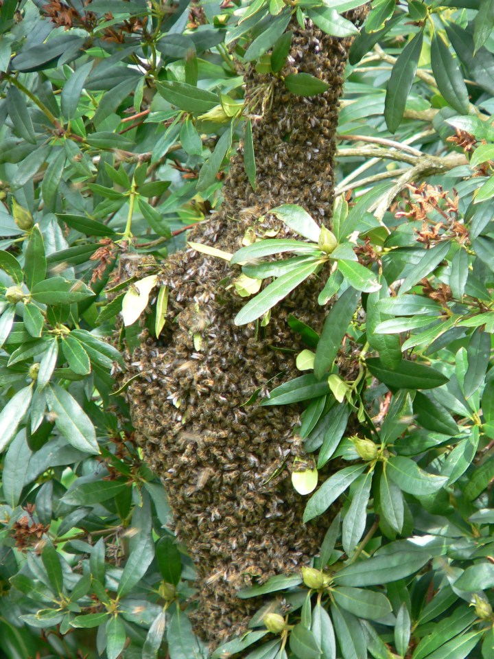 A swarm in Buxted in the High Weald, East Sussex