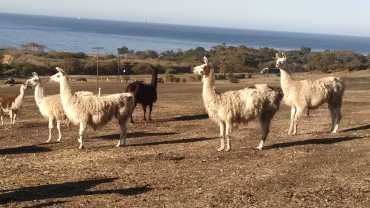 Llamas were seen on the barns near the camp ground. Credit: Khyra Stiner '21 / SPECTRUM