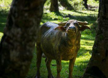 Water Buffalo...vie niekto preklad do slovenčiny