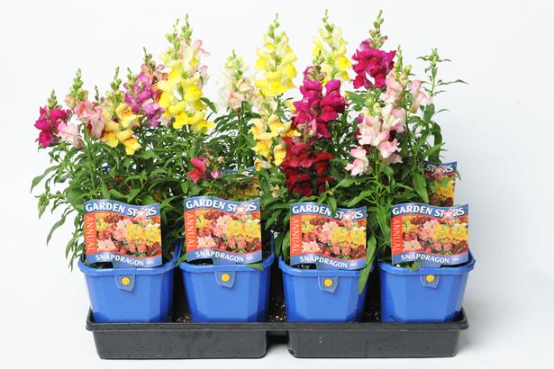 6″ Annuals – Garden Stars®