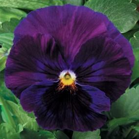 Pure Violet
