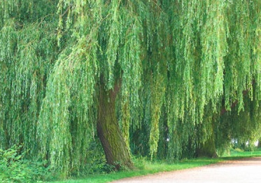 A green willow tree blowing in the breeze