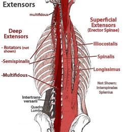 lower back extensor anatomy multifidus and errector spinae shown http fixtheneck  [ 894 x 1199 Pixel ]