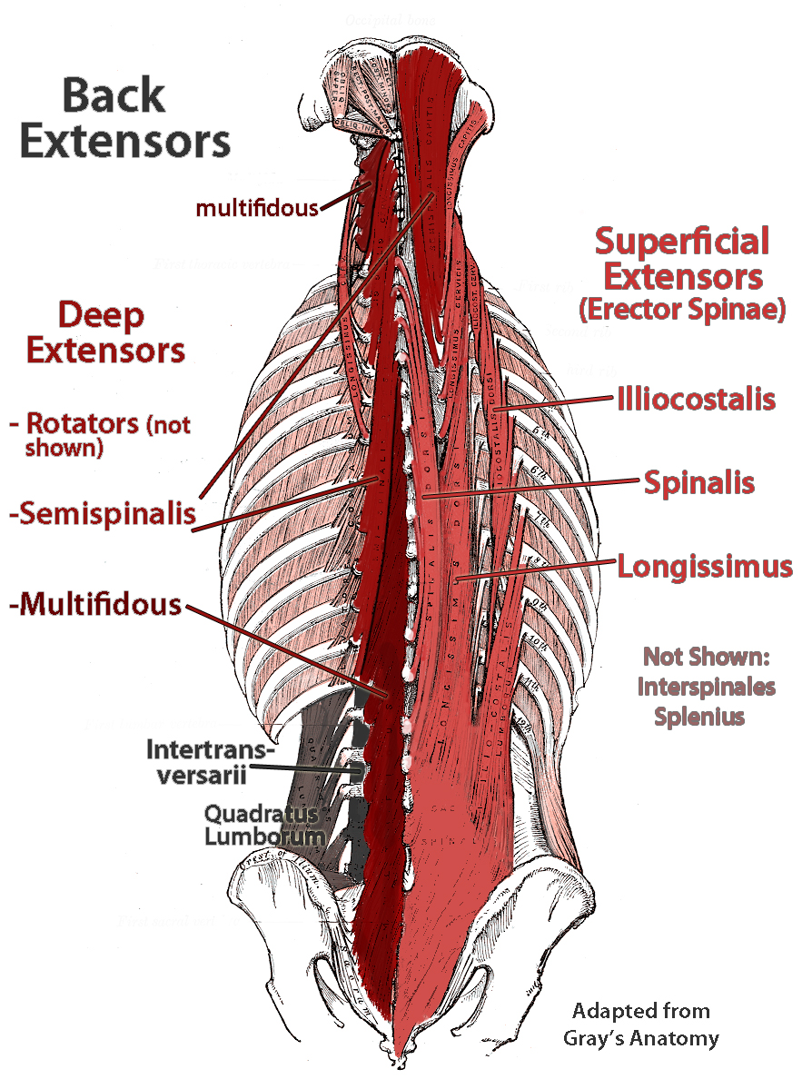 hight resolution of lower back extensor anatomy multifidus and errector spinae shown http fixtheneck