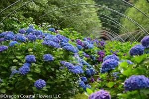 hydrangea ranch flowers