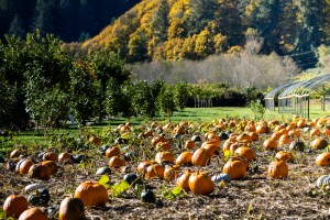 pumpkin patches in the pacific northwest