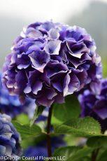 antique Oregon pride purple hydrangea