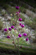 black magnolia tree