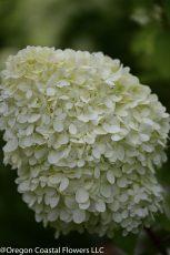 limelight hydrangea 3
