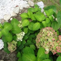 The Ever Changing Hydrangea Flower - August Blooms