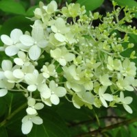 Limelight:  A Beautifully Named Hydrangea