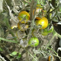 Late Blight Tomato Disease With Pictures