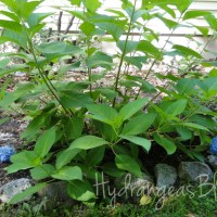 Pictures of My Hydrangea Plants 2015