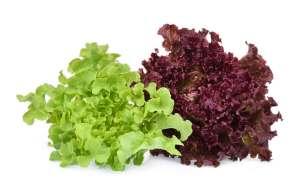 grow green vegetable in hydroponics garden